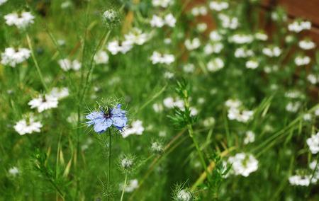 centaurea: A blue Cornflower, Centaurea Cyanus, also known as bachelor