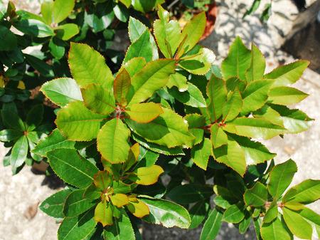 ericaceae: Un piccolo alberello Corbezzolo - Arbutus unedo, noto anche come corbezzolo o Cane Apple - un arbusto sempreverde o albero della famiglia delle Ericaceae Archivio Fotografico