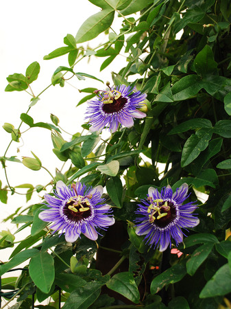 Three Purple Haze Passiflora flower, an evergreen tendril climbing vine