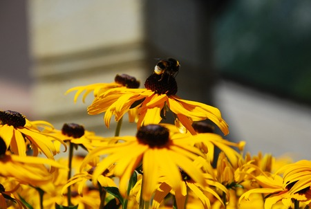 coneflowers: A small bee on a rudbeckia flower, a plant from the sundlower genus which is also known as Coneflower and Black-Eyed-Susan.