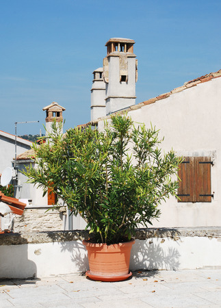 apocynaceae: A potted oleander plant in the central Istrian hill town of Pican, Croatia. Nerium Oleander, an evergreen shrub or small tree from the Dogbane family Apocynaceae, is entirely toxic.