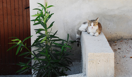 catnap: A white and brown-grey tabby cat rests in the shade to ecape the heat of the summer day in the central Istrian village of Pican, western Croatia