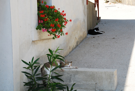 lonliness: In the foreground, a white and brown-grey tabby cat sleeps in the shade to ecape the heat of the summer day in the central Istrian village of Pican, western Croatia. A black and white cat does likewise in the background