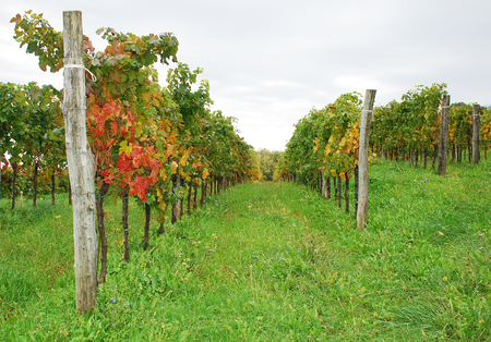 abbazia: A vineyard starting to turn to autumn colours in north east Italy, near the Abbey of Rosazzo, Manzano, Friuli. Stock Photo