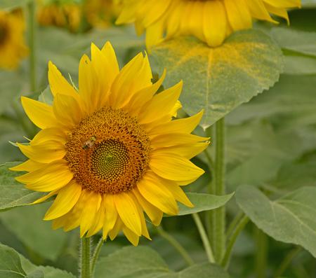 A field of sunflowers in the north east Italian region of Friuli Venezia Giulia. Stock Photo