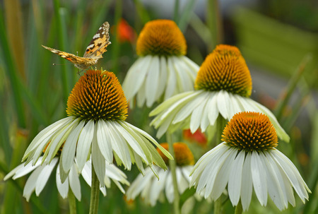 asteraceae: A Small Tortoiseshell butterfly (Aglais Urtica) on White Swan Echinacea flowers, also known as Coneflowers Stock Photo