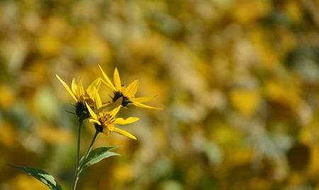 Jerusalem Artichoke Flowers against an autumnal background of a browning soya bean field.