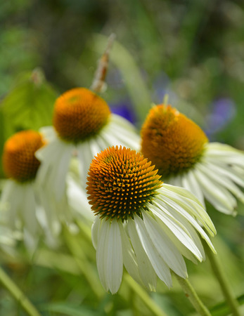 White Swan Echinacea flowers, also known as Coneflowers â?? an herbaceous flowering perennial plant from the Asteraceae daisy family. The focus is on the the foreground flower. Photograph taken in north east Italy. Stock Photo