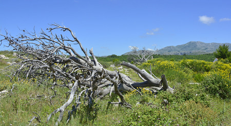 A dead sun-bleached tree on an otherwise green landscape on the hills above Dubrovnik, Croatia Stock Photo