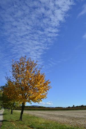 llegar tarde: Un árbol otoñal a finales de octubre en el noreste región italiana de Friuli Venezia Giulia. Un campo de maíz havested se puede ver a la derecha.