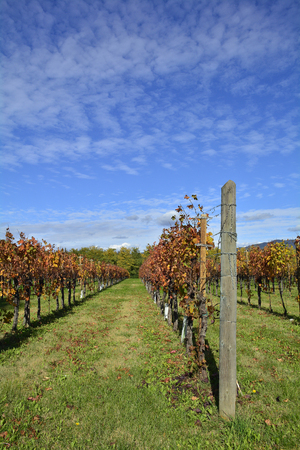 Autumnal rows of grape in late October in the north east Italian region of Friuli Venezia Giulia.