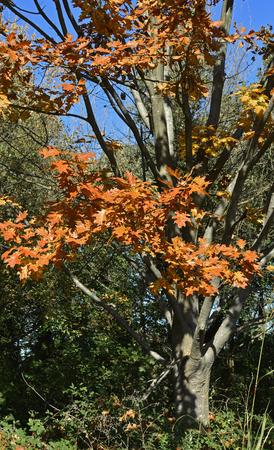 An oak tree in Friuli Venezia Giulia, north east Italy, showing its autumn colours