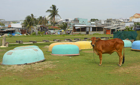 A cow tethered next to some traditional round fishing boats at Mui Ne Fishing Village, Vietnam