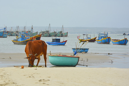 A cow on the beach of Mui Ne Fishing Village with some traditional fishing boats in the background