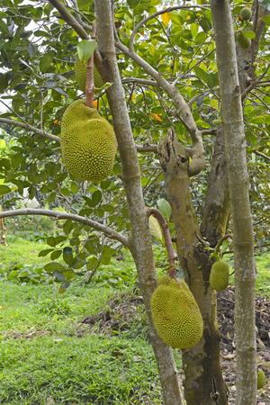 Durian fruit on growing on a tree near Can Tho in Vietnams Mekong Delta Stock Photo