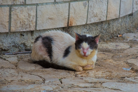 A sickly young black and white street cat in Istria, Croatia
