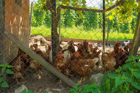 A brood of brown/red chickens in their fenced enclosure with coop in rural north west Slovenia Banque d'images - 121297534