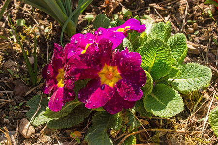 Pink Primulas growing in spring north east Italy. They are of the common Primula Vulgaris variety, also known as primrose, common primrose or English primrose 写真素材