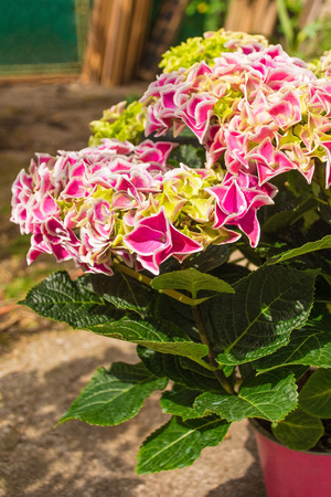 A pink harlequin hydrangea plant growing in a small plant pot in north east Italy