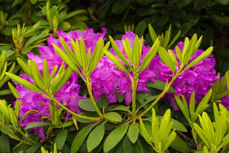 Purple rhododendron flowers growing in a garden in north east Italy. They are wet from recent rain