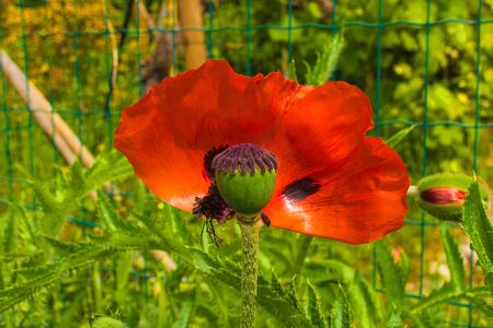 A giant red poppy which has dropped half of its petals in natural sunlight with various grasses and other plants in the background. Photographed in north east Italy. Archivio Fotografico