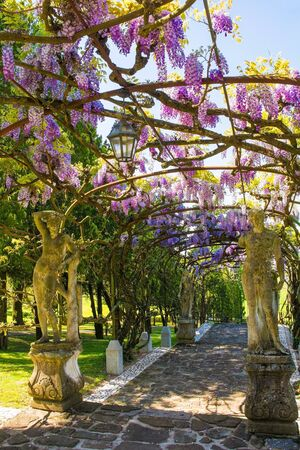 A large wisteria vine being supported by an arched frame in a garden in north east Italy