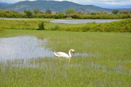 A white swan swimming in the waters of the Isola Della Cona wetland nature reserve in Friuli-Venezia Giulia, north east Italy