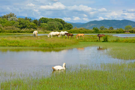 A white swan swimming in the waters of the Isola Della Cona wetland nature reserve in Friuli-Venezia Giulia, north east Italy, with wild horses including 3 foals in the background 스톡 콘텐츠