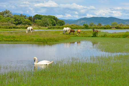 A white swan swimming in the waters of the Isola Della Cona wetland nature reserve in Friuli-Venezia Giulia, north east Italy, with wild horses including 3 foals in the background 免版税图像