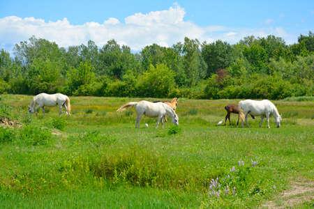Wild horses and foals graze in the Isola Della Cona wetland nature reserve in Friuli-Venezia Giulia, north east Italy