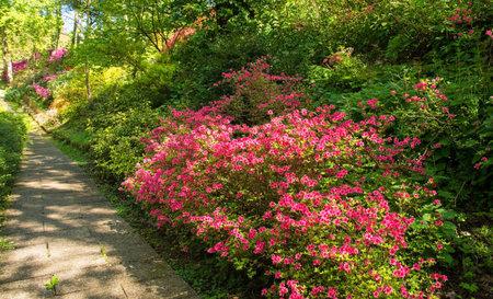 A park in the north eastern Friuli Venezia Giulia region of Italy in spring with lots of azaleas in flower Zdjęcie Seryjne