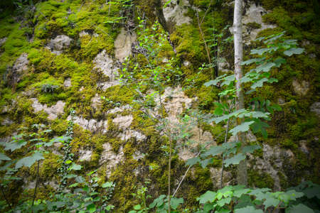 Moss growing on a boulder in a shady area of woodland in late May near the village of Merso di Sopra in Udine Province, Friuli-Venezia Giulia, north east Italy