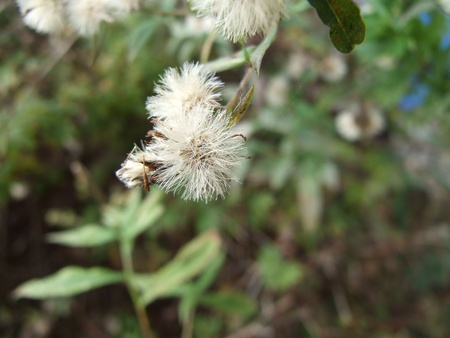 Wild Aster gone to seed Stock Photo