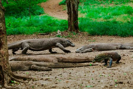 the komodo walk in the jungle of their island