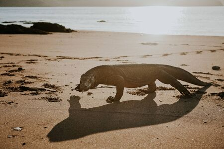 walked komodo in the beach side at the afternoon