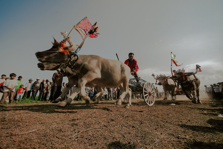 Mekepung is a tradition from west Bali which is a Buffalo race