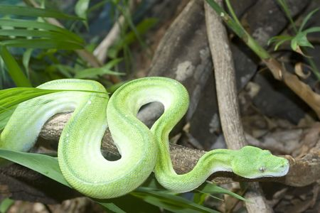 Green Tree Python commonly found in Northern Australia and New Guinea