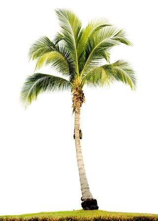 엽상체: Palm tree isolated on white background