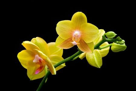 Stem of yellow orchids isolated on black background