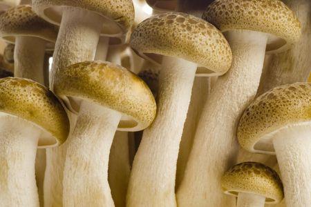 Closeup of a bunch of brown beech mushrooms photo