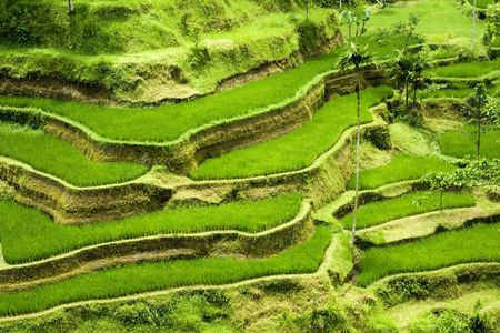 Green rice terraces in Bali, Indonesia