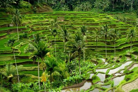 Green rice terraces in Bali, Indonesia Stock Photo - 2691520