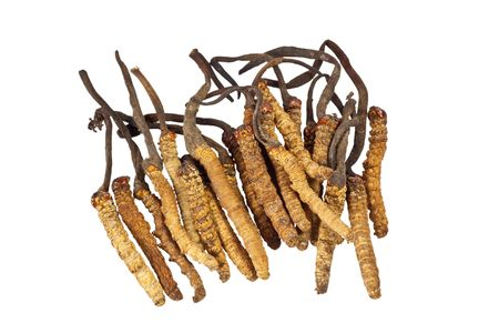 herbology: Ingredient used in Traditional Chinese Medicine isolated on white background - Cordyceps sinensis (caterpillar fungus)
