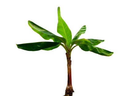 musa: Musa Banana plant isolated on white background Stock Photo