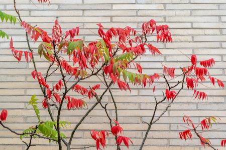 Side view of tree with both red and green leaves on it in front of white brick wall. Includes copy space.