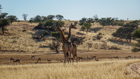 Watching giraffes and grassy springboks in the savannah in front of a hill in Namibia.