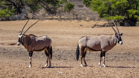 Back to back, two oryx guard the area in the savanna of Namibia, Africa.