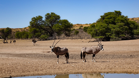 Back to back, two oryx guard the area from a water hole in the savanna of Namibia, Africa. In the background are African ostriches.