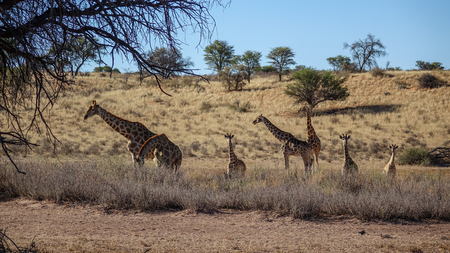 Group of giraffes of different ages walking in savannah, viewed over low bushes from the distance.