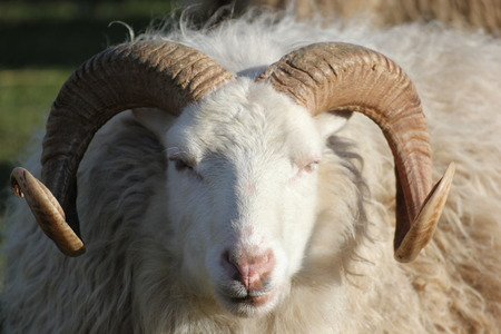 A head of a ram seen from the front, with sunlight falling from the right